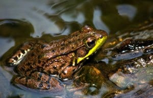 Green Frog at the water's edgePhoto by: Kevin Faccendahttps://creativecommons.org/licenses/by/2.0/