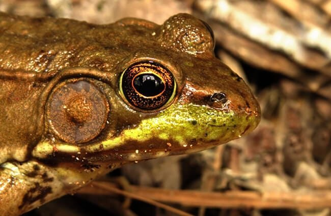 Olive-colored Green Frog Photo by: Fyn Kynd https://creativecommons.org/licenses/by/2.0/