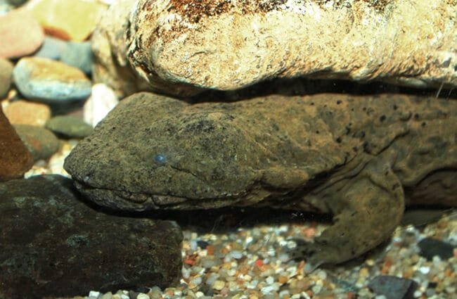 Hellbender Salamander hiding under a rock Photo by: Brian Gratwicke https://creativecommons.org/licenses/by-nc/2.0/