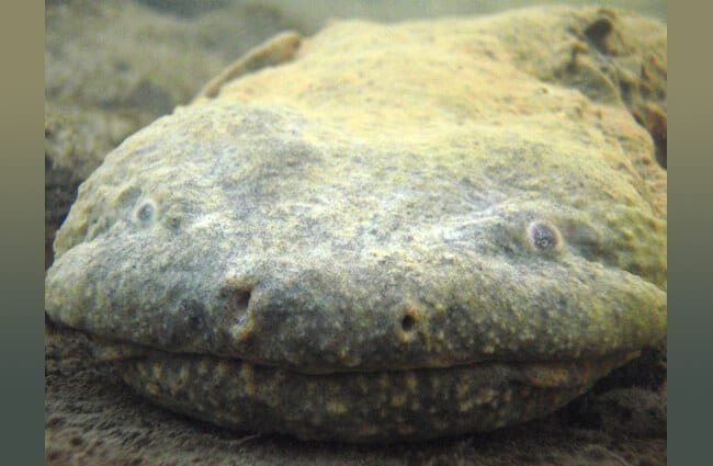 Adult Hellbender in the wild in New York Photo by: U.S. Fish and Wildlife Service Northeast Region Public Domain