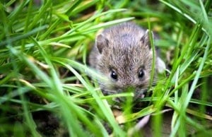 House Mouse outside the house!Photo by: Ben Frewinhttps://pixabay.com/photos/mouse-small-animal-garden-small-1335602/