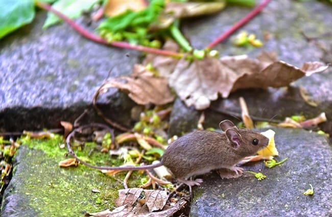Run, run little mouse! Photo by: Dr. Georg Wietschorke https://pixabay.com/photos/house-mouse-mouse-rodent-3421139/