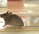 A House Mouse Caught In The Kitchen Photo By: Donald Hobern Https://creativecommons.org/licenses/by-Sa/2.0/