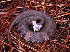 Water Moccasin coiled in warning