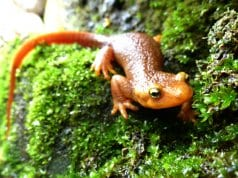 California Newt, in the Santa Monica Mountains, CaliforniaPhoto by: National Park Service//creativecommons.org/licenses/by/2.0/