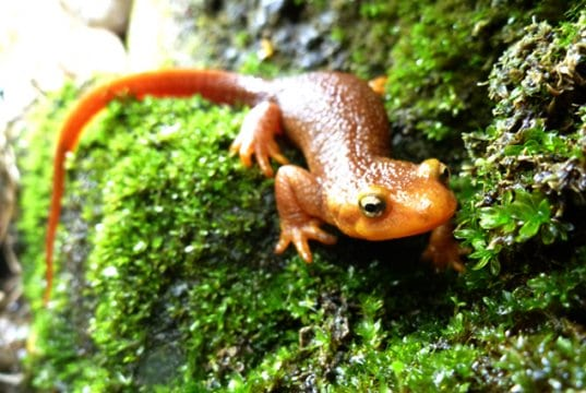 California Newt, in the Santa Monica Mountains, CaliforniaPhoto by: National Park Servicehttps://creativecommons.org/licenses/by/2.0/