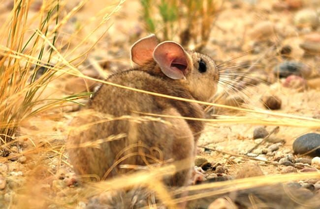 Cute little Pack Rat Photo by: USFWS Mountain-Prairie [Public domain] https://creativecommons.org/licenses/by-nc-sa/2.0/