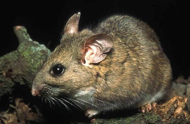 An endangered Riparian Woodrat