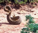 Rattlesnake, Coiled To Strike Photo By: Skeeze //pixabay.com/photos/rattlesnake-Coiled-Reptile-Wildlife-1826516/