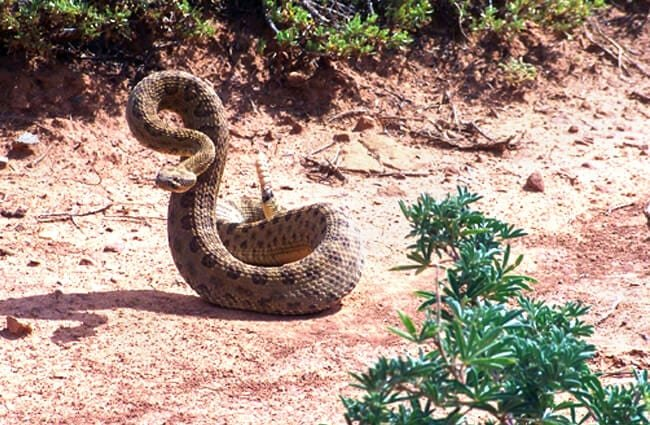 Rattlesnake, coiled to strike Photo by: skeeze https://pixabay.com/photos/rattlesnake-coiled-reptile-wildlife-1826516/