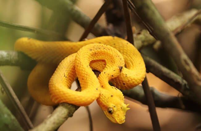 Eyelash Pit Viper Photo by: Werner Eckhard //pixabay.com/photos/eyelash-pit-viper-venomous-snake-4060495/