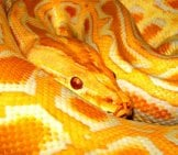 A Colorful Burmese Pythonphoto By: Tambako The Jaguar//creativecommons.org/licenses/by-Nd/2.0/