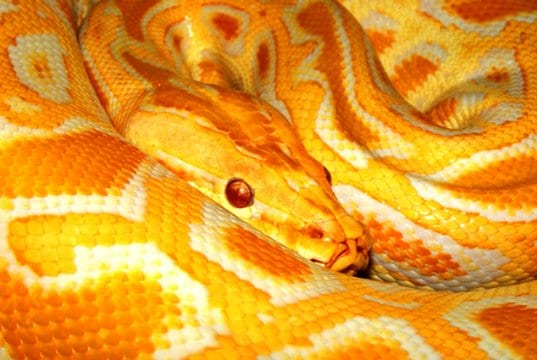 A colorful Burmese PythonPhoto by: Tambako The Jaguarhttps://creativecommons.org/licenses/by-nd/2.0/