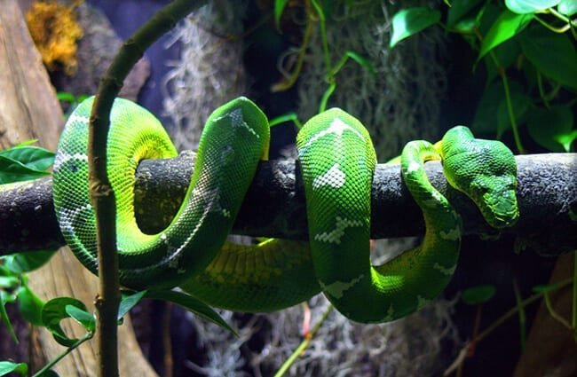 Captive Green Tree Python Photo by: Kathleen Franklin //creativecommons.org/licenses/by-nd/2.0/