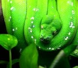 Green Tree Python Photo By: (C) Alexis84 Www.fotosearch.com