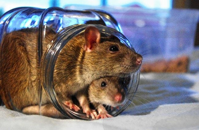 Rats in a jar Photo by: Staffan Vilcans //creativecommons.org/licenses/by-nd/2.0/