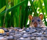Rat Peeking Over The Rocks Photo By: Hebi B. //pixabay.com/photos/mammal-Rat-Eyes-Ears-907690/