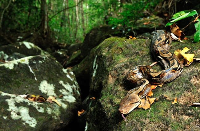 Reticulated Python Photo by: tontantravel https://creativecommons.org/licenses/by-sa/2.0/