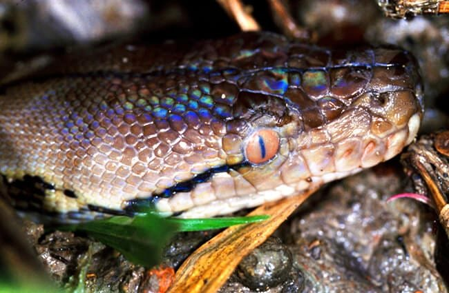 Closeup of a Reticulated Python's head Photo by: Bernard DUPONT //creativecommons.org/licenses/by-sa/2.0/