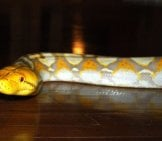 A Captive Reticulated Python, On The Hardwood Floorphoto By: B A Y L E E ' S 8 Legged Arthttps://creativecommons.org/licenses/by-Sa/2.0/