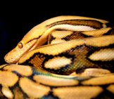 Reticulated Python Photo By: Hannah M. Https://Pixabay.com/Photos/Reticulated-Python-Snake-Reptile-3506484/