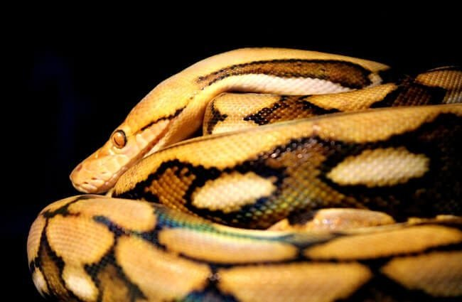 Reticulated Python Photo by: Hannah M. //pixabay.com/photos/reticulated-python-snake-reptile-3506484/