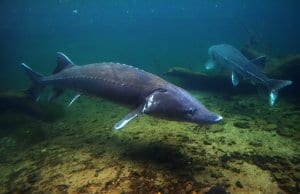 A very large Sturgeon coming close to a diverPhoto by: Geoff Parsonshttps://creativecommons.org/licenses/by/2.0/