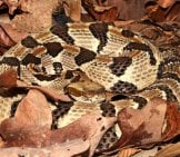 A Well-Camouflaged Timber Rattlesnake Photo By: Smashtonlee05 Https://creativecommons.org/licenses/by/2.0/