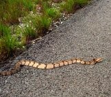 Timber Rattlesnake On The Warm Blacktop Photo By: Frank Boston Https://creativecommons.org/licenses/by/2.0/