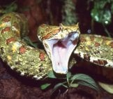 Female Eyelash Viper Photo By: Bernard Dupont Https://creativecommons.org/licenses/by-Nd/2.0/
