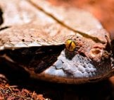 Closeup Of A Gaboon Viper Photo By: Tambako The Jaguar Https://creativecommons.org/licenses/by-Nd/2.0/