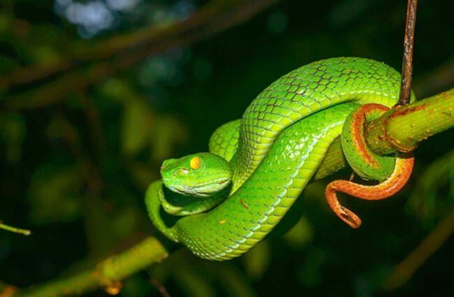 Large-Eyed Pit Viper Photo by: Thai National Parks www.thainationalparks.com