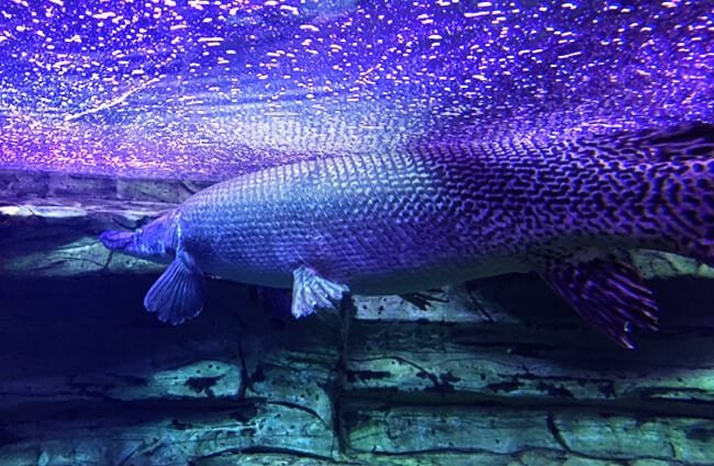 Large Alligator Gar in an aquarium Photo by: vhines200 https://creativecommons.org/licenses/by-nc-sa/2.0/