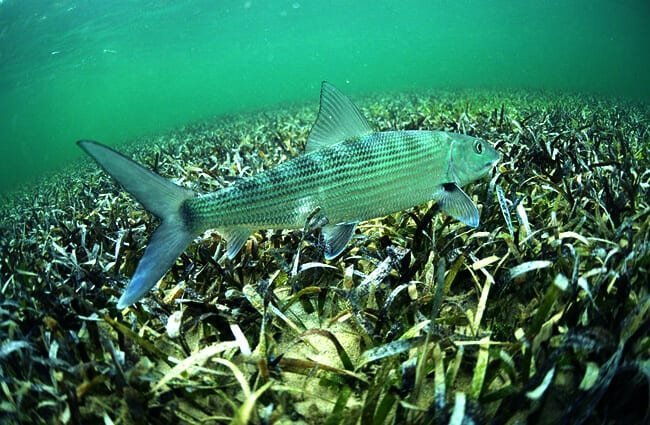 Bonefish swimming in the grass flats ocean Photo by: (c) ftlaudgirl www.fotosearch.com