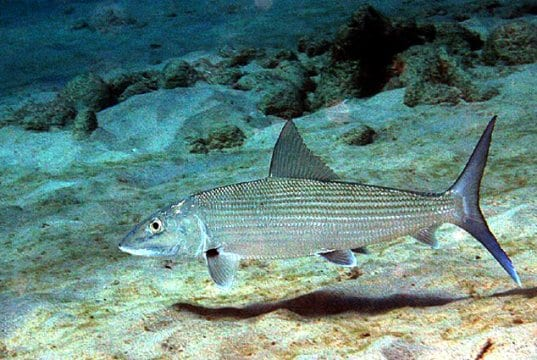 Closeup of a Bonefish in the wildPhoto by: Kevin Bryanthttps://creativecommons.org/licenses/by-sa/2.0/