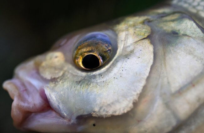 Closeup of the head of a Bream Photo by: Mary Shattock https://creativecommons.org/licenses/by/2.0/