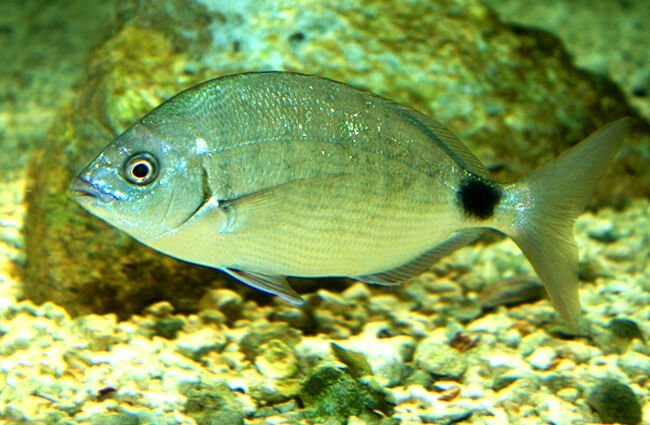 Bermuda Bream Photo by: Brian Gratwicke https://creativecommons.org/licenses/by/2.0/
