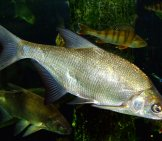 Carp Bream Public Domain