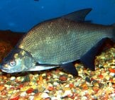 Common Bream Public Domain