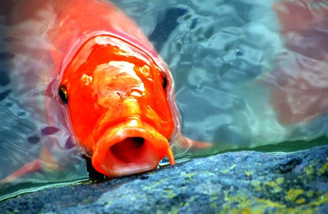 Carp photographed in a Japanese garden pondPhoto by: Jamie Nakamurahttps://pixabay.com/photos/carp-japan-fish-aquarium-fish-pond-2334071/