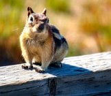 Cheeky Chipmunk On The Back Fence Photo By: Stefan Serena, Public Domain Https://creativecommons.org/licenses/by/2.0/