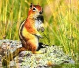 Chipmunk On A Rock Photo By: Larry Lamsa Https://creativecommons.org/licenses/by/2.0/
