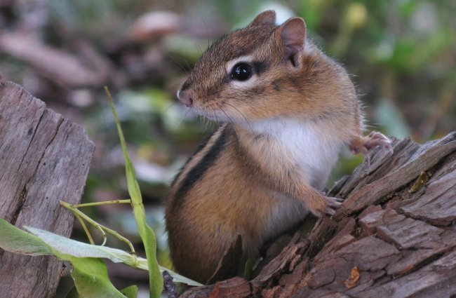 Portrait of an Eastern Chipmunk Photo by: Gilles Gonthier https://creativecommons.org/licenses/by/2.0/