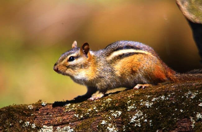 Cute Chipmunk on a tree branch Photo by: NaturesFan https://creativecommons.org/licenses/by/2.0/