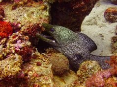 Conger Eel in the Red Sea  Photo by: (c) AmeKamura www.fotosearch.com