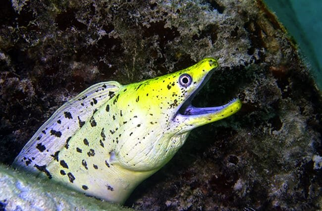 Beautiful Conger Eel springing after prey Photo by: (c) chiy www.fotosearch.com