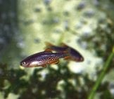 "Celestial Pearl Danios, A Nano Fish, At Just 3/4"" Photo By: Cheepshot Https://creativecommons.org/licenses/by/2.0/"