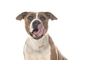 pitbull dog food by: Fotosearch.com