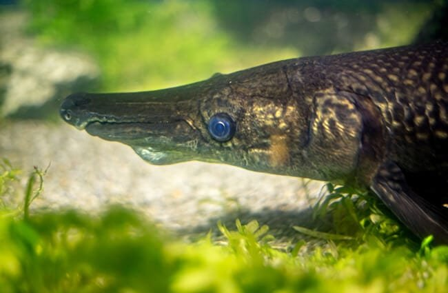 Closeup of an Alligator Gar Photo by: Jin Kemoole //creativecommons.org/licenses/by-nc-sa/2.0/