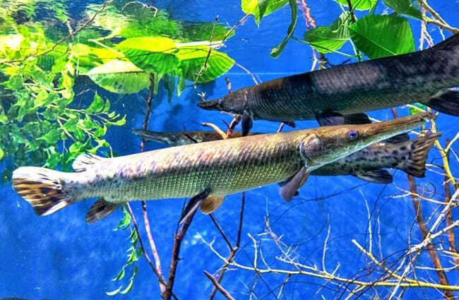 Alligator Gar Photo by: Tuomo Lindfors //creativecommons.org/licenses/by-nc-sa/2.0/